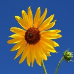 sunflower-against-blue-sky-tracie-kaska